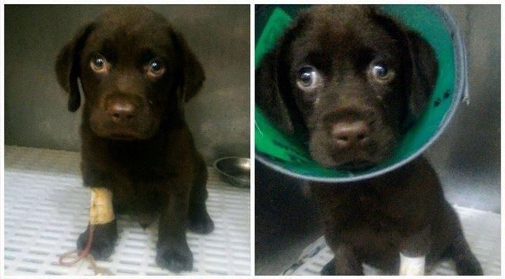 Arya and Robbin as puppies with parvo