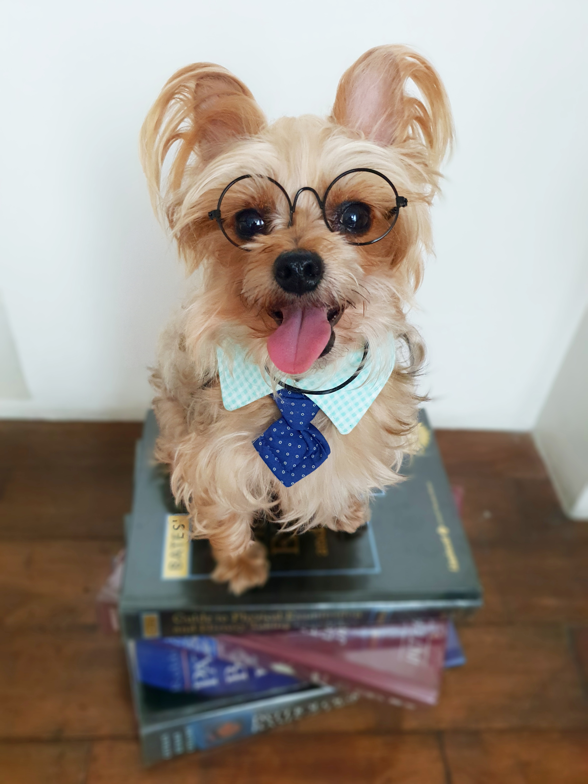 Therapy Dog - Smith the Yorkie